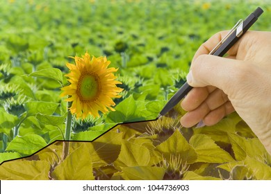 hand drawing a graph about harvest of sunflowers - concept image