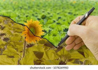 Sunflower Line Drawing : Sunflower line drawing images stock photos & vectors shutterstock