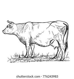 Hand drawn cow illustration on white background.Design elements for logo, label, emblem, sign.