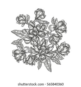 Hand drawn flowers. Vintage floral composition, spring magnolia flowers and leaves isolated on white background. Illustration in engraved style