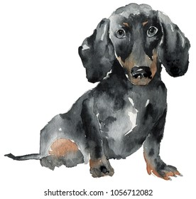 Hand drawn painting of Dachshund dog. Portrait of a Dachshund. Watercolor illustration of Dachshund dog.
