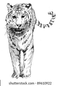 hand drawn sketch of stalking tiger in black and white monochrome colors isolated on white background