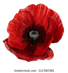 Hand drawn watercolor botanical illustration of the poppy plant. Poppy drawing isolated on the white background.