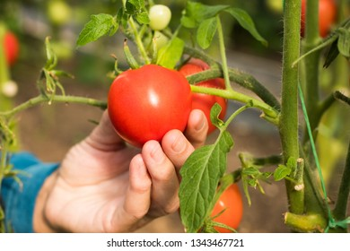 Hand Of Elderly Woman Hold Homegrown Organic Red Tomato Growing In Vegetable Garden In Summertime.