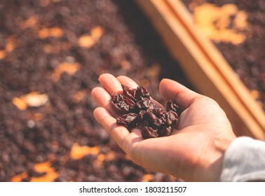 hand of farmer holding raisin with drying board in sunlight grapes vineyard background,