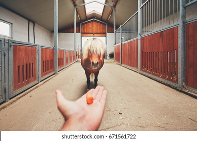Hand of the farmer offering carrot and and miniature horse in the middle of the stable.