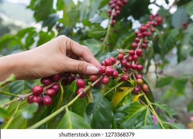 Hand of farmer pick red coffee bean arabica on branch.