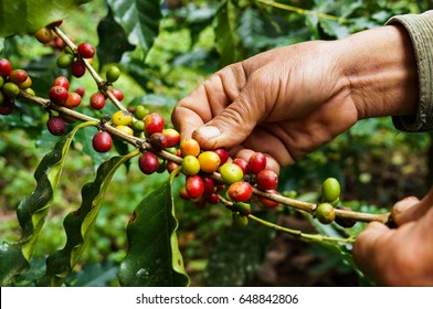 Hand farmer picking coffee bean in coffee process agriculture background