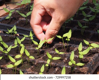 Hand of farmer are pulling off the seedlings for quality control.