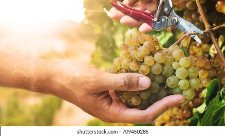 hand of  farmer in September check and collects the selected grape bunches in Italy for the great harvest. bio concept, organic food, nature and fine wine handmade