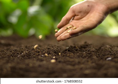 Hand of farmer sowing a seed on soil at home vegetable garden
