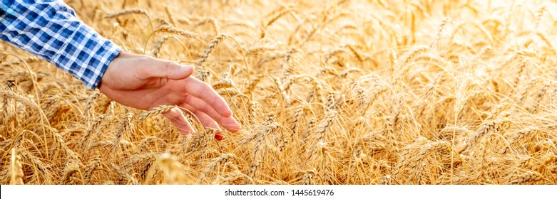 Hand Of Farmer Touching Ripe Golden Wheat At Sunset - Harvest Time Concept