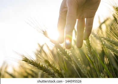 Hand of a farmer touching ripening wheat ears in early summer.