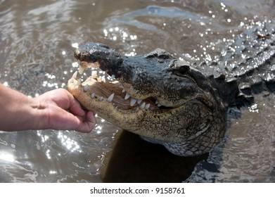 Hand Feeding an Alligator 4