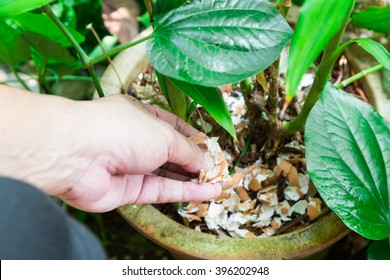 Hand feeding crushed eggs shells onto plants as natural garden organic fertilizer at home