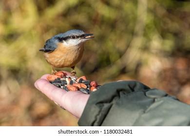 Hand Feeding a Nuthatch