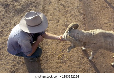 Hand feeding sheep in outback Australia during a drought.