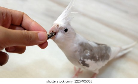 Cockatiel Images Stock Photos Vectors Shutterstock