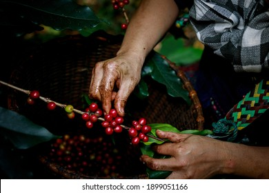 Hand of female akha farmer tribe is harvesting ripe coffee beans from branch in plantation 100% organic farm in valley mountain in Thailand close up and selective focus shot