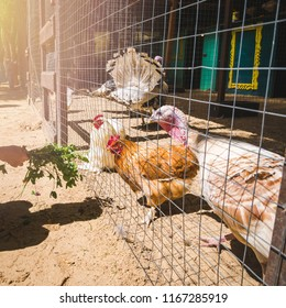 Hand with fresh grass feeding domestic hens and turkeys in farm coop