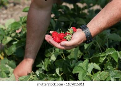 Hand with fresh ripe strawberries