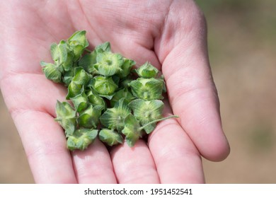 Hand full of Malva nicaeensis fruits, a species of flowering plant in the mallow family known by the common names bull mallow and French mallow - Shutterstock ID 1951452541