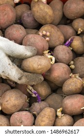 the hand of the gardener in a glove chooses a potato tuber with sprouts for planting