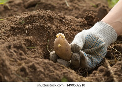 the hand of the gardener holds a potato tuber next to the hole in the plowed ground