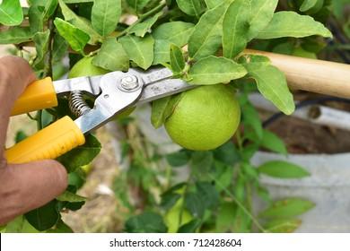 Hand of gardener used scissors to harvest vegetables (lime) in the garden.