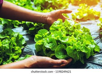 hand gardener woman asian. Caring for Vegetable Lettuce In the garden at the nursery.