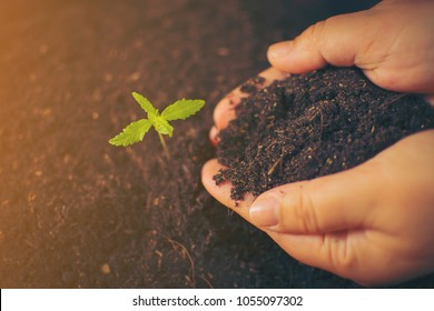 Hand gently holding rich soil for his marijuana plants