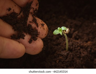 Hand gently touch a baby cannabis plant. Vegetative stage of marijuana growing.