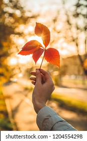 The hand of the girl holding the ivy leaf tree in the autumn sun. autumn yellow sunny background