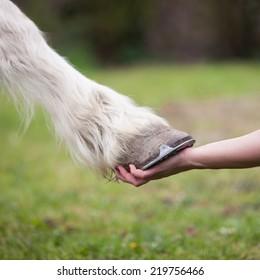 hand of girl holds hoof of white horse