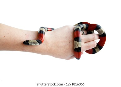 hand of a girl and Young Scarlet kingsnake Lampropeltis elapsoides. Nonpoisonous snake with a three colored, which characterizes mimicry. on a white background, isolated