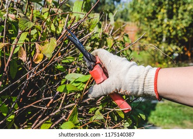 Hand in a glove with garden scissors trimming a bush. Cutting faded stems, hedge, branches with gardening tools, secateurs, scissors. Hard autumn work in garden. September, sunny day. Seasonal work