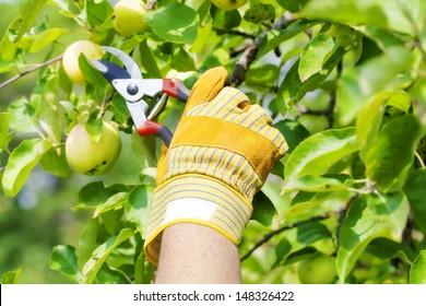 Hand in glove with gardener shears near apple tree