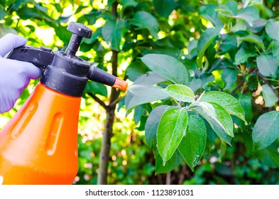 Hand with glove spraying leaves of fruit tree against plant diseases. Studio Photo