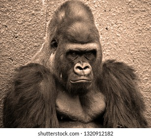 Hand of Gorillas are ground-dwelling, predominantly herbivorous apes that inhabit the forests of central Africa. The DNA of gorillas is highly similar to that of humans, from 95–99%