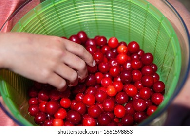 hand grabbing fresh picked cherries from bowl outdoors
