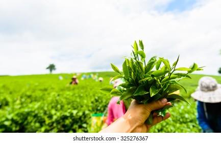 hand with green tea at tea garden