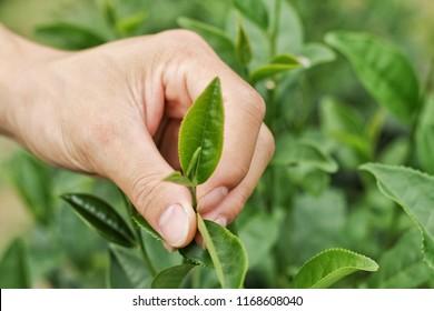 Hand and green tea leaf