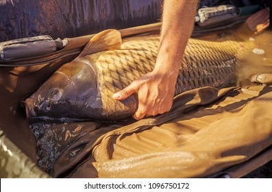 Hand hold alive carp in wet basket stretcher. Big fish catch in water on sunny day. Carp fishing, angling, fish catching, capture. Trophy, success, achievement. Hobby, sport, recreation, activity