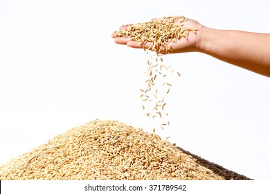hand hold paddy rice on white background
