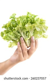Hand hold the vegetable hydroponic, isolated on white background