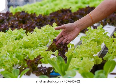 Hand hold vegetable . It planting with Water Hydroponics system.
