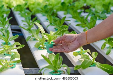 Hand hold vegetable . It planting with Water Hydroponics system
