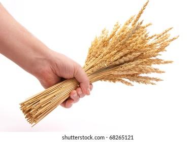 Hand hold wheat ears