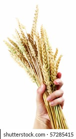 hand hold wheat ears isolated on the white background