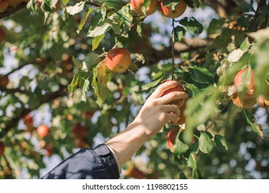 A hand holding an apple ready to pick in the garden. Man harvesting in the garden in sunny autumn day.
